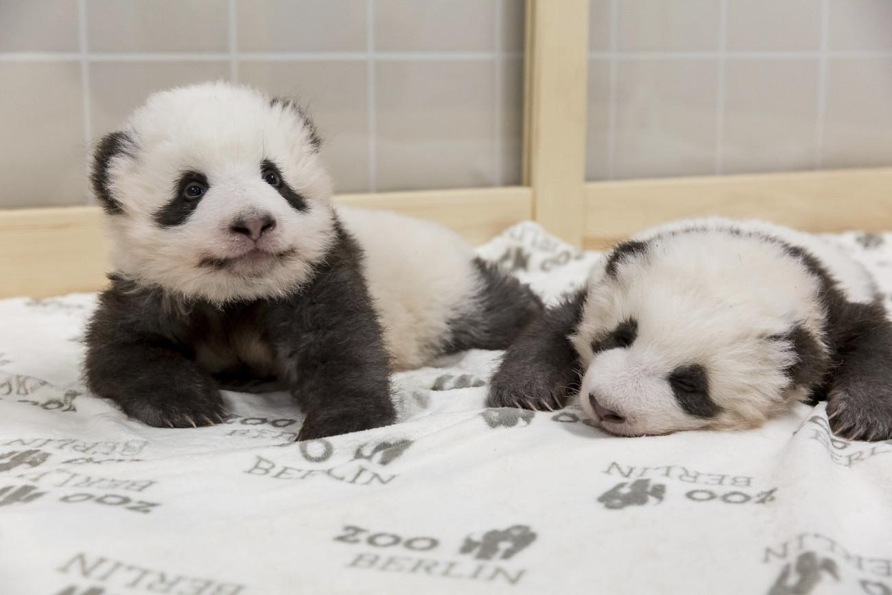 Bemutatták a Berlini Állatkert panda ikreit