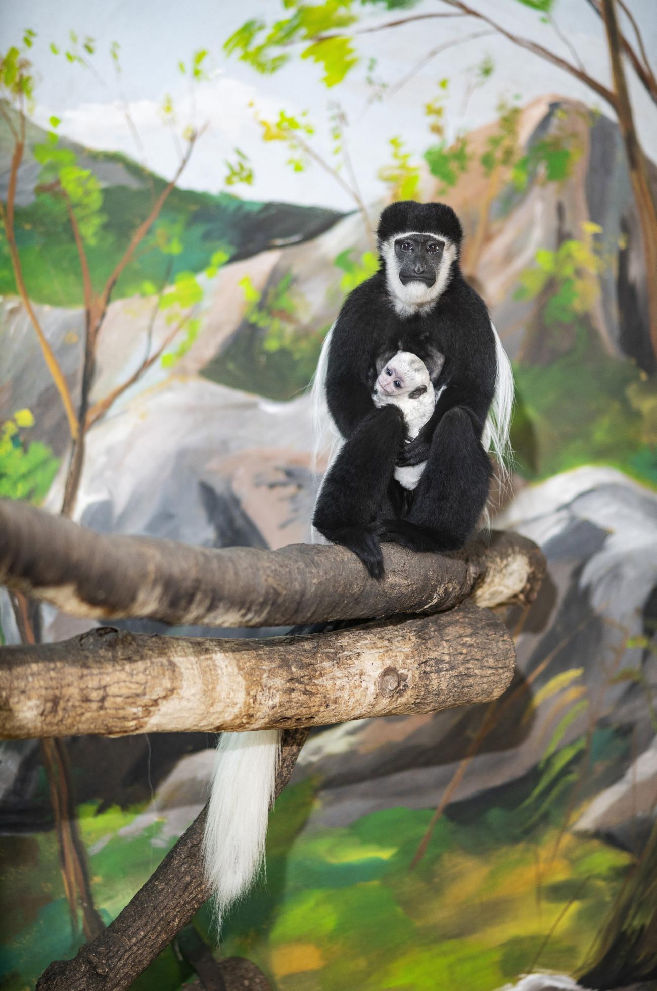 Nyíregyháza, 2021. április 28. A Nyíregyházi Állatparkban tizenhat napja született zászlósfarkú gereza (Colobus guereza) kapaszkodik anyjába 2021. április 28-án. A Közép-Afrika egyenlítői területein élő főemlősöket feltűnő megjelenésük miatt száz évvel ezelőtt csaknem a kipusztulás fenyegette. Fehér szőrgallérjukat az afrikai törzsek fejdísz készítésére használták, és Európában is nagy volt a kereslet a bundájuk iránt. A védelmi intézkedéseknek köszönhetően mára állományuk stabilnak mondható, de a faj fennmaradását napjainkban is az orvvadászat és az élőhelyek elvesztése veszélyezteti. MTI/Balázs Attila