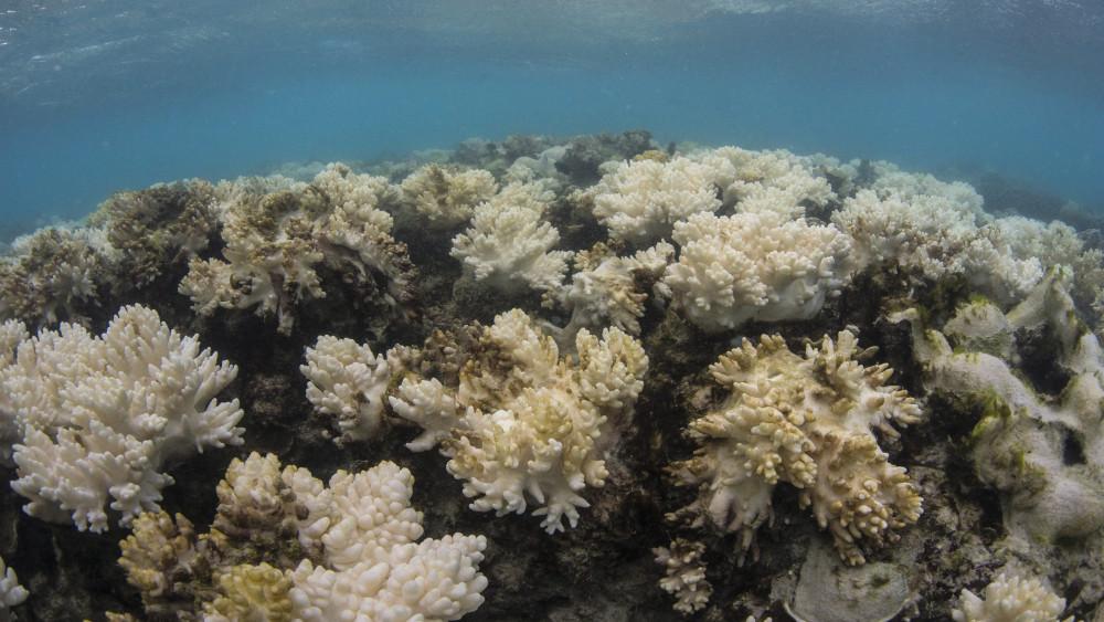 Lizard Island, 2016. június 8. Az XL Catlin Seaview Survey elnevezésű, ausztrál tudományos expedíció által 2016. június 8-án közradott, május 15-én készült felvétel az ausztrál Nagy-korallzátony leginkább kifehéredett szakaszáról a Queensland szövetségi állambeli Cairnstól 250 kilométerre északra lévő Lizard-szigeten. A világ legnagyobb koralltelepének 22 százaléka pusztult el a területen megfigyelt eddigi legsúlyosabb korallfehéredésben, amely a tengervíz felmelegedésének következménye. A jelenség hátterében a klímaváltozás és a Csendes-óceán trópusi felszíni vizeinek felmelegedését okozó El Nino légköri jelenség áll. (MTI/EPA)