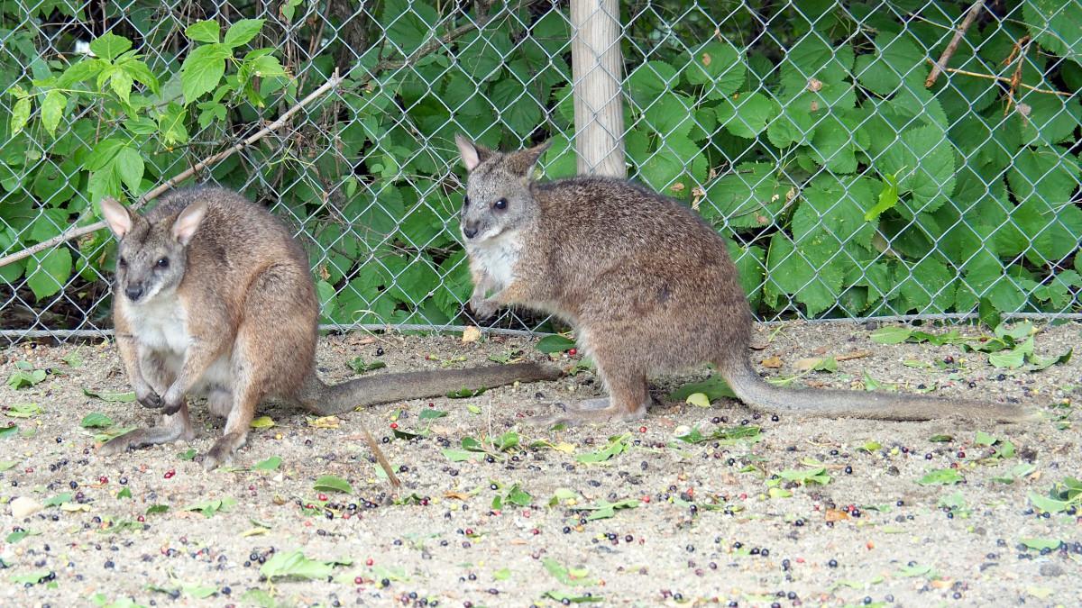 Kihaltnak hitt apróságokkal gazdagodott a fővárosi állatkert